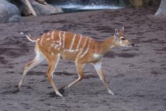 Sitatunga - Tragelaphus spekeii - stock photo