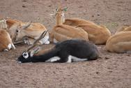 Stock Photo of Blackbuck - Antilope cervicapra