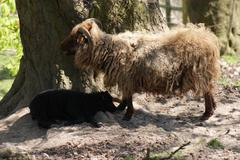 Ovis Aries - Icelandic Sheep - stock photo