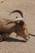 Barbary Sheep - Ammotragus lervia - stock photo