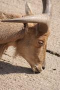 Stock Photo of Barbary Sheep - Ammotragus lervia