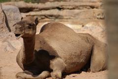 Dromedary Camel - Camelus dromedarius - stock photo