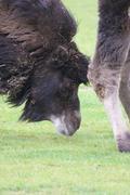 Bactrian Camel - Camelus bactrianus - stock photo