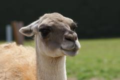 Guanaco - Lama guanicoe - stock photo