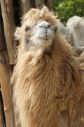 Stock Photo of Bactrian Camel - Camelus bactrianus