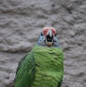 Red-tailed Amazon - Amazona brasiliensis Stock Photos