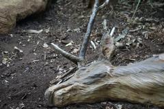 Antelope Casualty - stock photo