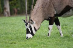 Stock Photo of Gemsbok - Oryx gazella