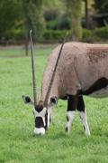 Gemsbok - Oryx gazella - stock photo