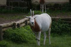 Scimitar Oryx - Oryx dammah - stock photo