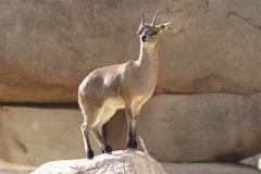 Klipspringer - Oreotragus oreotragus - stock photo