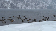 Wintering ducks on the Yenisei River in the background of the Sayan Mountains - stock footage