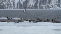 A flock of ducks wintering on the Yenisei River - stock footage