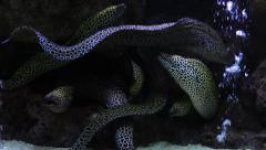 Black Spotted Moray Eel Stock Footage