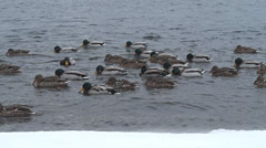 A flock of ducks bobbing on the waves of cold winter Stock Footage
