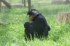 Red-faced Black Spider Monkey - Ateles paniscus Stock Photos