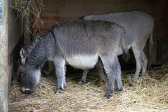 Donkey - Equus africanus asinus - stock photo