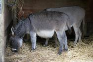 Stock Photo of Donkey - Equus africanus asinus