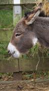 Donkey - Equus africanus asinus Stock Photos