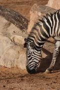 Grant's Zebra - Equus quagga boehmi - stock photo