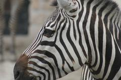 Grant's Zebra - Equus burchelli boehmi - stock photo