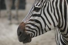 Grant's Zebra - Equus burchelli boehmi - stock photo