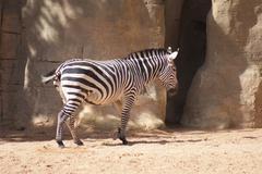 Grant's Zebra - Equus quagga boehmi - stock photo
