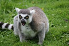 Ring-tailed Lemur - Lemur catta Stock Photos