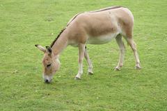Onager - Equus hemionus - stock photo