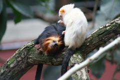 Golden-headed Lion Tamarin and Silvery Marmoset - Hairdresser - stock photo