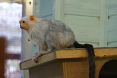 Stock Photo of Silvery Marmoset - Mico argentatus