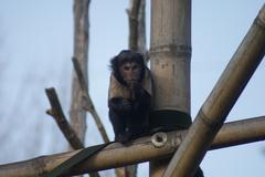 Buffy-headed Capuchin - Cebus Xanthosternos - stock photo