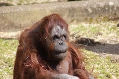 Bornean Orangutan - Pongo pygmaeus - stock photo