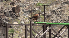 Young Eagle Birds of Prey falconry show Stock Footage