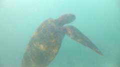 Turtle swimming to the surface for air at the Galapagos Islands, Ecuador Stock Footage