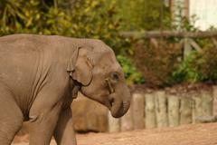 Asian Elephant - Elephas maximus - stock photo