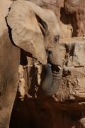 African Bush Elephant - Loxodonta africana - stock photo