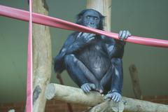 Bonobo - Pan paniscus - stock photo
