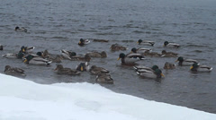 Wintering ducks and drakes in Siberia on the Yenisei River - stock footage
