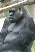 Western Lowland Gorilla - Gorilla gorilla gorilla - Silverback - stock photo