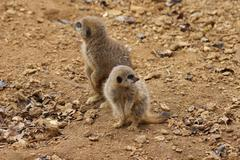 Meerkat - Suricata suricatta Stock Photos