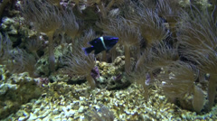 Blue Velvet Damsel Stock Footage