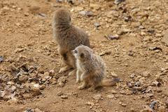 Meerkat - Suricata suricatta Stock Photos