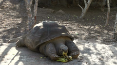 Pepe, a tortuga gigantic eating a banana Stock Footage