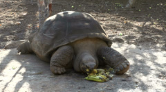 Pepe, a tortuga gigantic eating a banana in San Cristobal Stock Footage