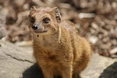 Yellow Mongoose - Cynictis penicillata - stock photo