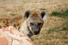Spotted (laughing) Hyena - Crocuta crocuta Stock Photos