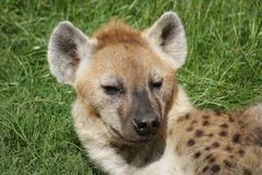 Spotted Hyena - Crocuta crocuta Stock Photos