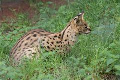 Serval - Leptailurus serval - stock photo