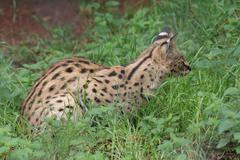 Serval - Leptailurus serval - stock photo